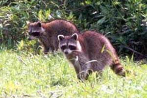 Racoons are usually nocturnal animals.