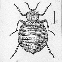 Open source drawing of bedbug from wikimedia foundation
