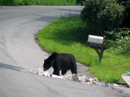 Bear eating garbage